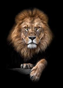 Lagervaror egen produktion Focused Lion Color