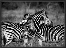 Nordic Poster Zebra group-hugs