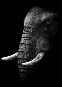 Bildverkstad Portrait Elephant Poster